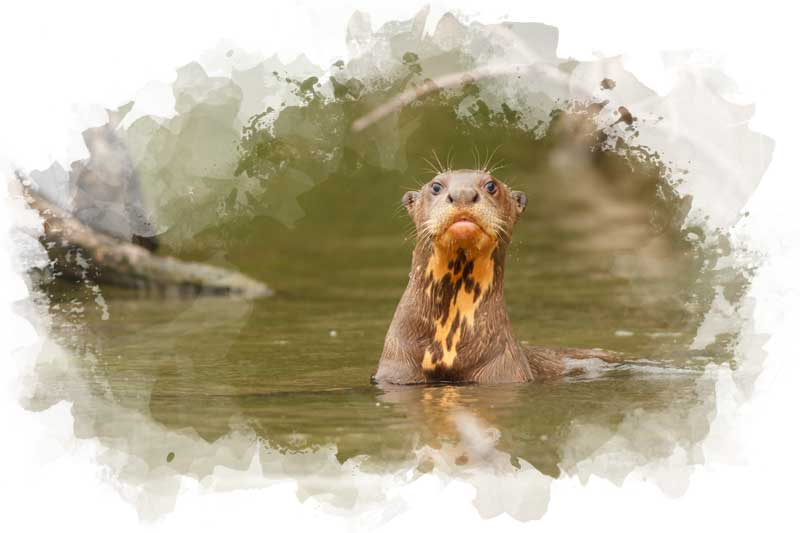 See giant river otters on your luxury tour to Peru