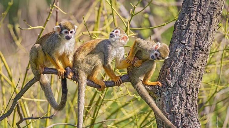 Discovering Peru's Monkeys