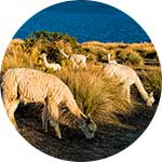 ico-titicaca-exotic-wildlife