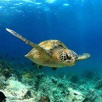 testimonial-featured-galapagos-turtle-swimming