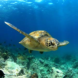 testimonial-featured-galapagos-turtle-swimming.jpg