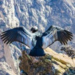 testimonial-featured-magnificent-condor-spreading-wings