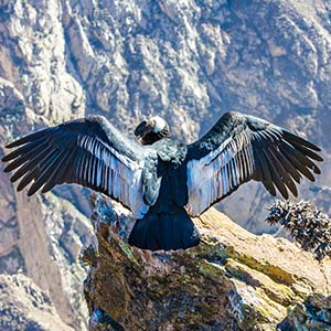 testimonial-featured-magnificent-condor-spreading-wings.jpg