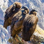 testimonial-featured-southern-peru-colca-canyon-condors