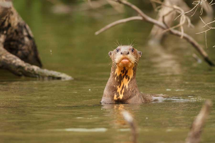 kuoda-blog-amazon-giant-river-otter.jpg