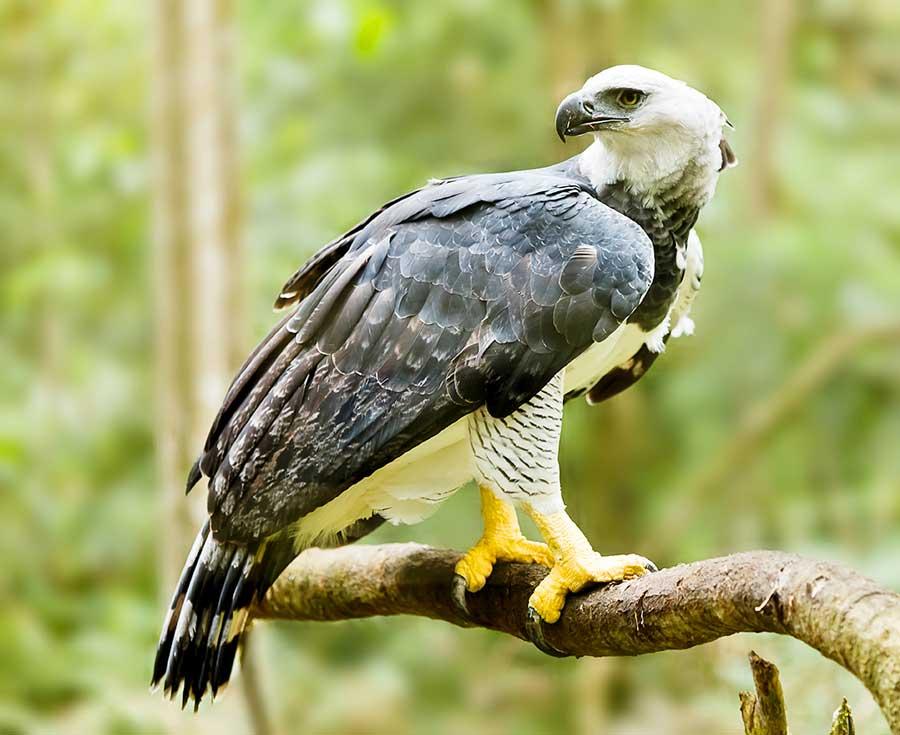kuoda-blog-amazon-predators-harpy-eagle.jpg