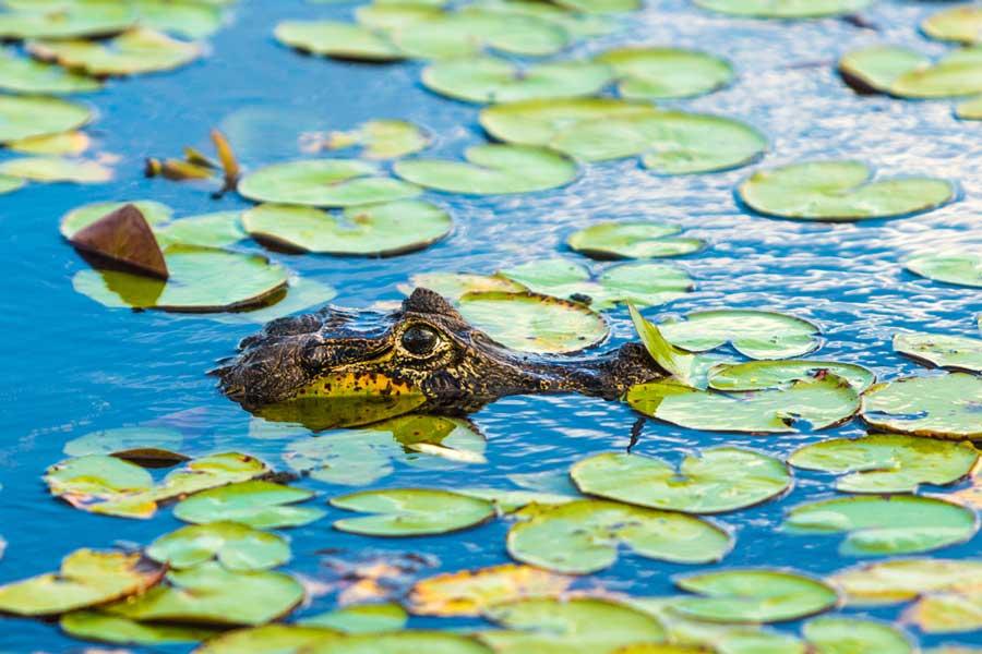 kuoda-blog-black-caiman-amazon-predator.jpg