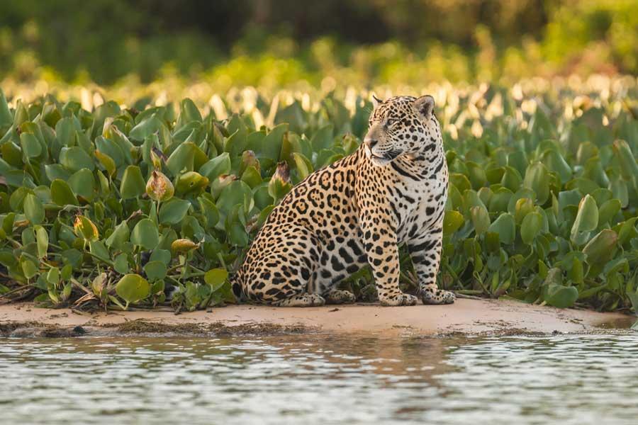 kuoda-blog-jaguar-amazon-predator.jpg