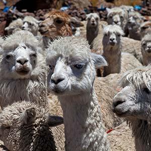 testimonial-featured-llamas.jpg