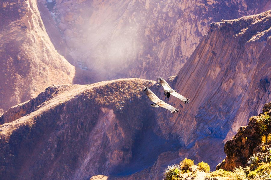 Andean Condors flying over the Colca canyon