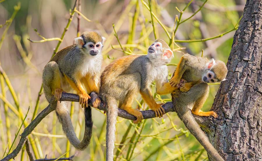 kuoda-blog-wildlife-spotlight-peru-monkeys-featured.jpg
