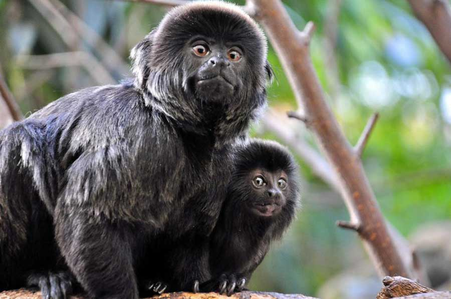 kuoda-blog-wildlife-spotlight-peru-monkeys3