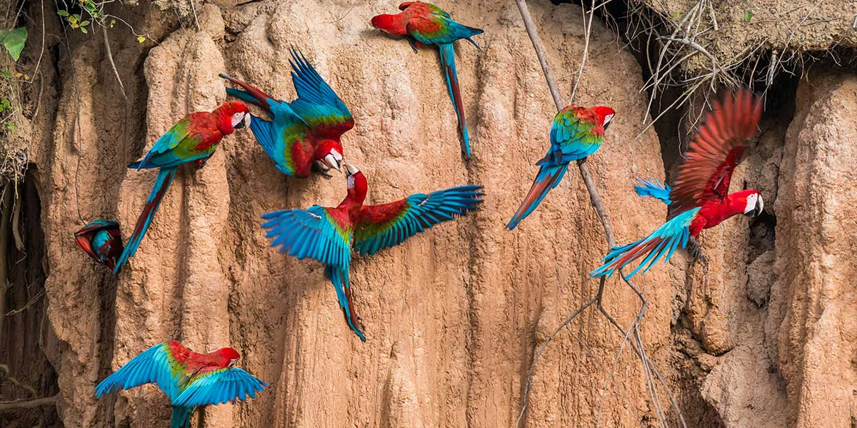 Visit a macaw and parrot clay lick on a private luxury amazon and machu pichu tour