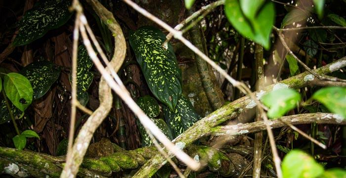 ayahuasca-vine.jpg