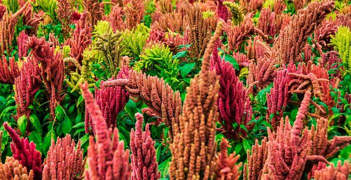 quinoa-food-vitality