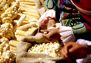 cusco-giant-white-corn-sarapampa.jpg