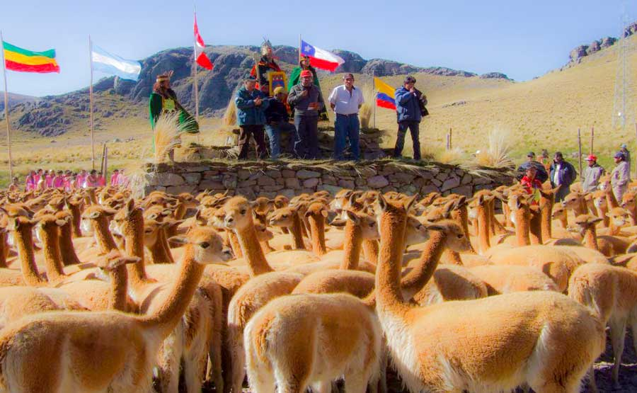 kuoda-blog-chaccu-ritual-protect-vicuna-featured.jpg