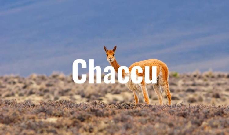 Chaccu: A Ritual to Protect the Threatened Vicuña