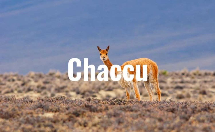 Chaccu: A Ritual to Protect the Threatened Vicuña
