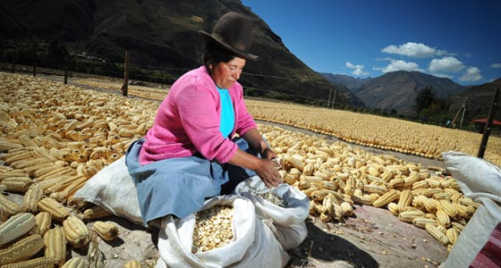 giant-white-corn-sacred-valley.jpg
