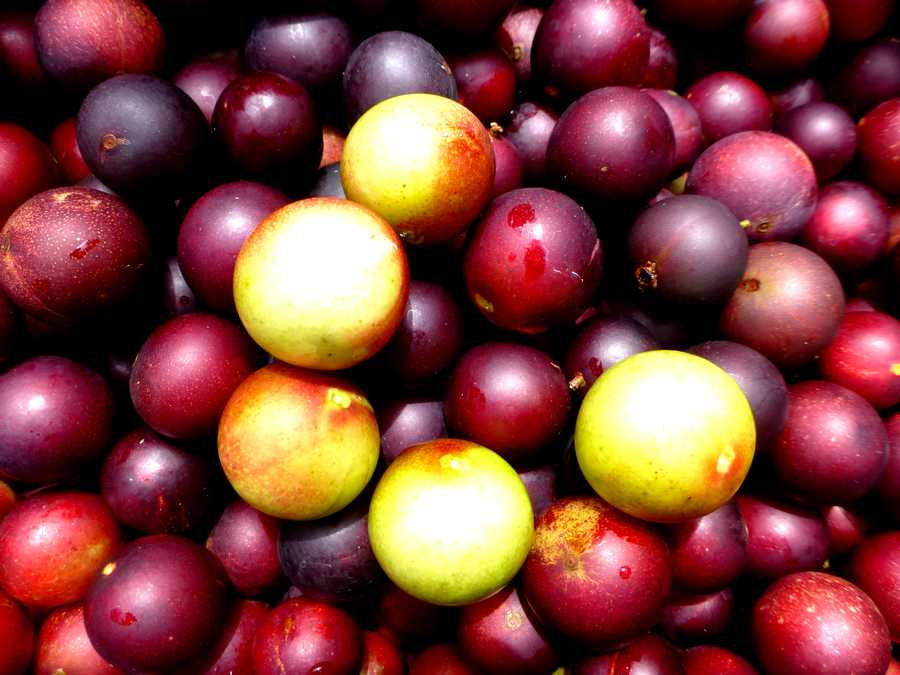 3-Exotic-Fruits-To-Try-When-You-Visit-Peru-camu-camu
