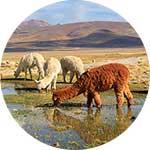 ico-arequipa-colca-exotic-wildlife