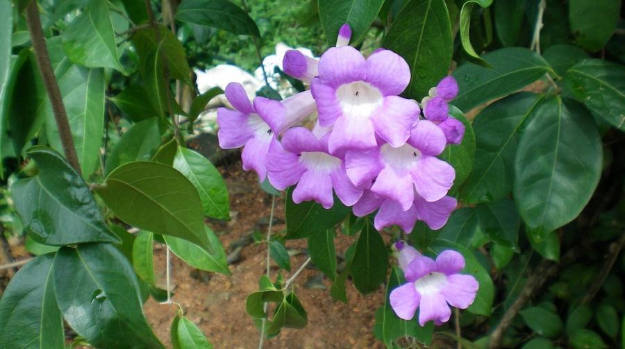 medicinal-plants-herbs-peruvian-amazon-ajo-sacha1