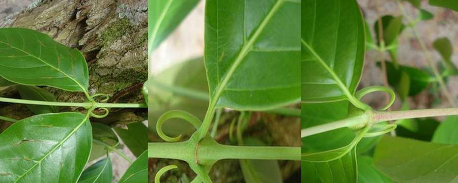 medicinal-plants-herbs-peruvian-amazon-uña-de-gato.jpg