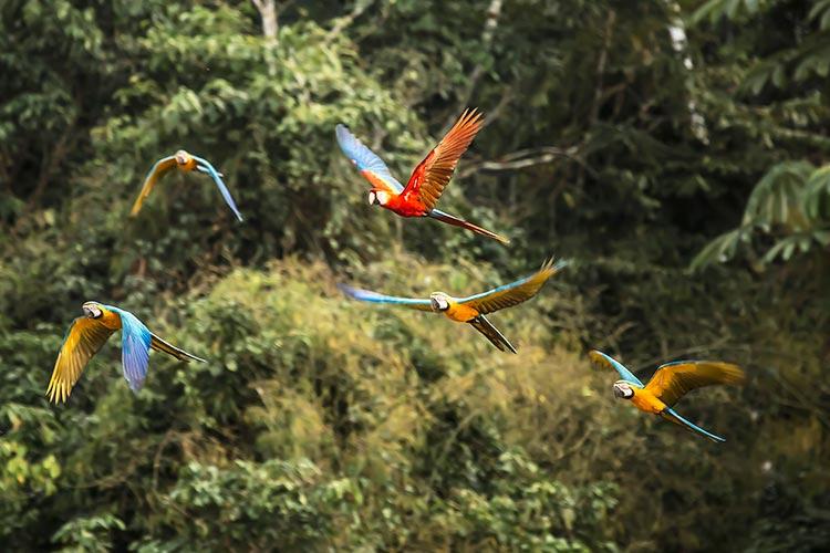 Guacamayos in Amazon Peru