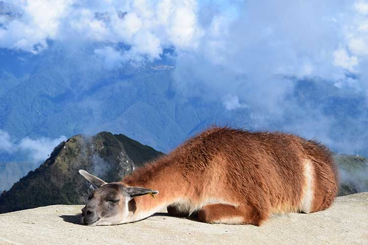 Llamas, Alpacas, and Vicuñas: How to Tell the Difference