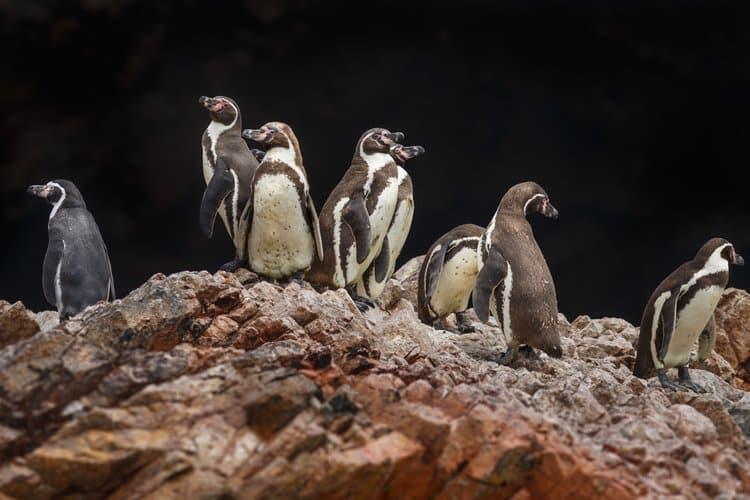 Penguin ballestas island