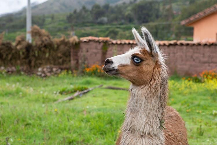 llama peru travel