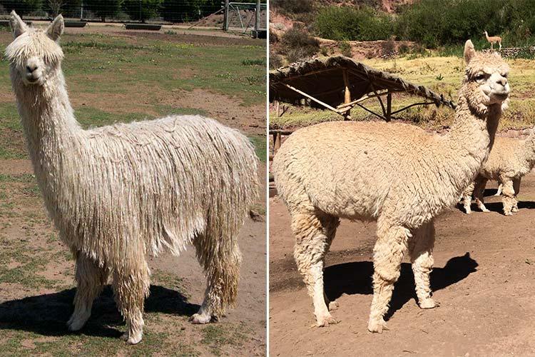 alpaca types