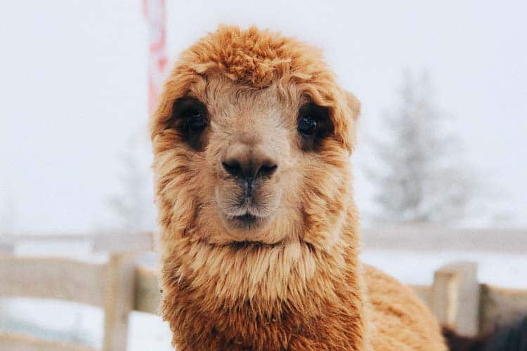 Learn the Differences Between Alpaca and Other Fibers