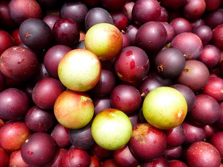 Peruvian fruits camu camu