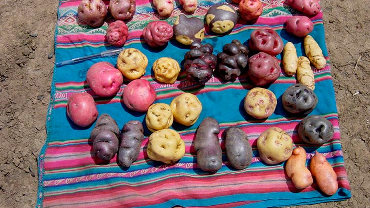 native potatoes