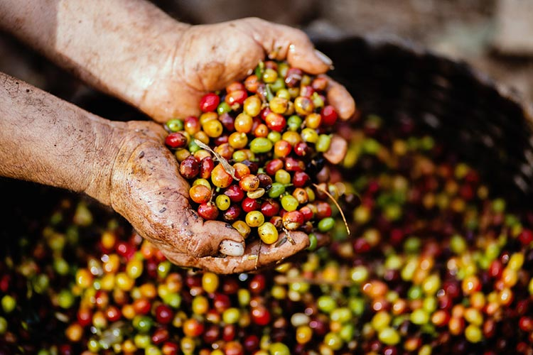 Peruvian Coffee process