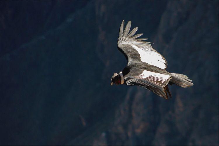 andean trilogy condor