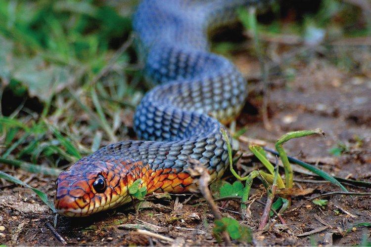 andean trilogy snake
