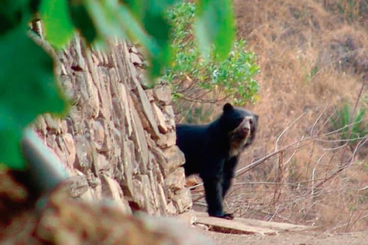 bear in machu picchu