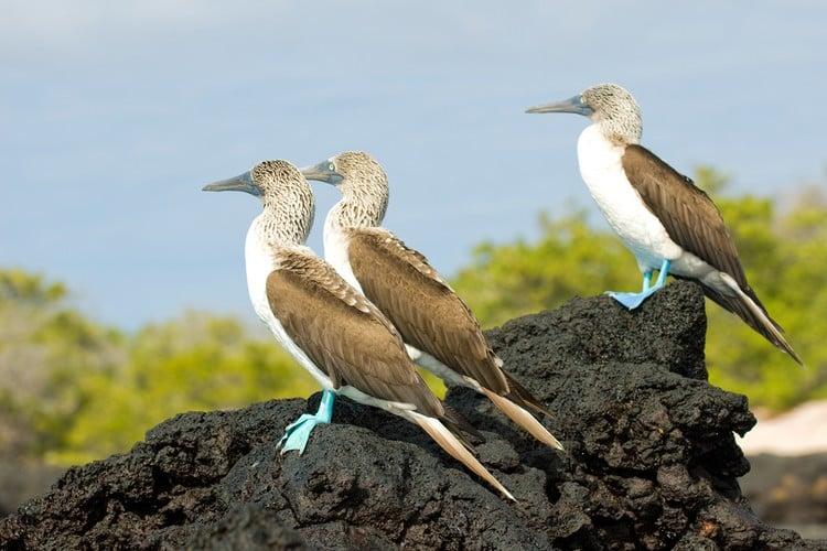 blue-footed boobies Ecuador Travel