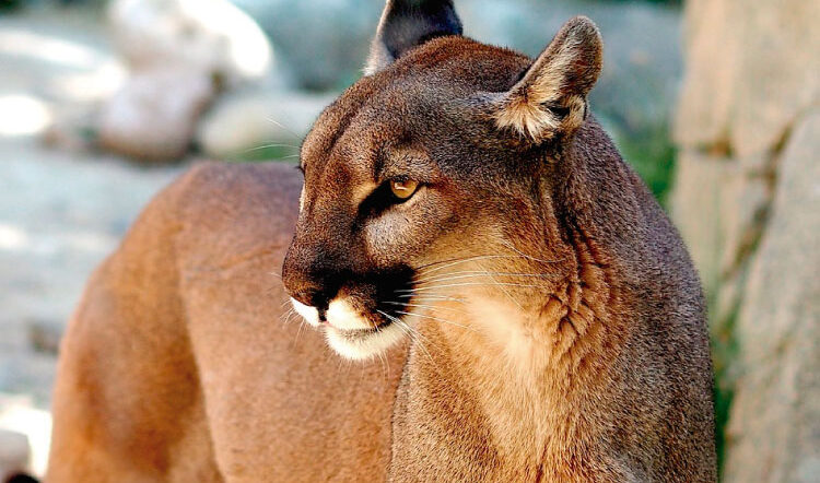 The Fiercest Feline of the Andes and the Amazon: The Puma!