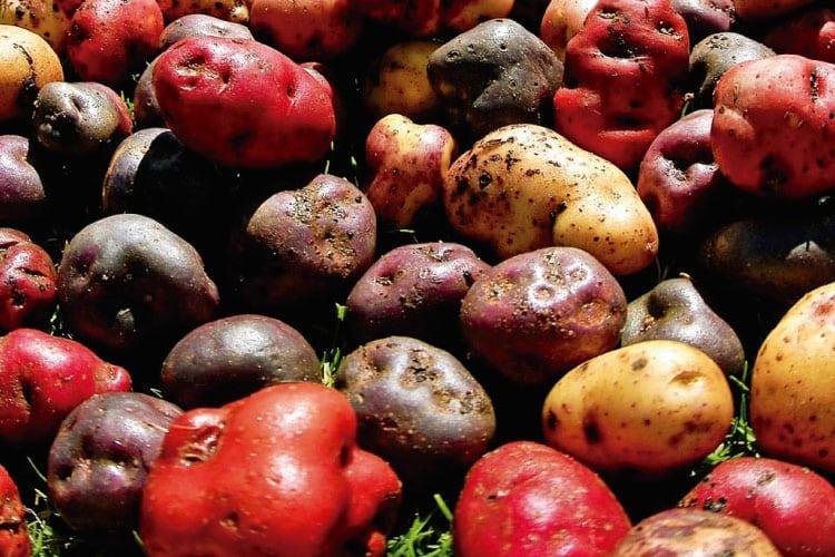 huayro potatoe