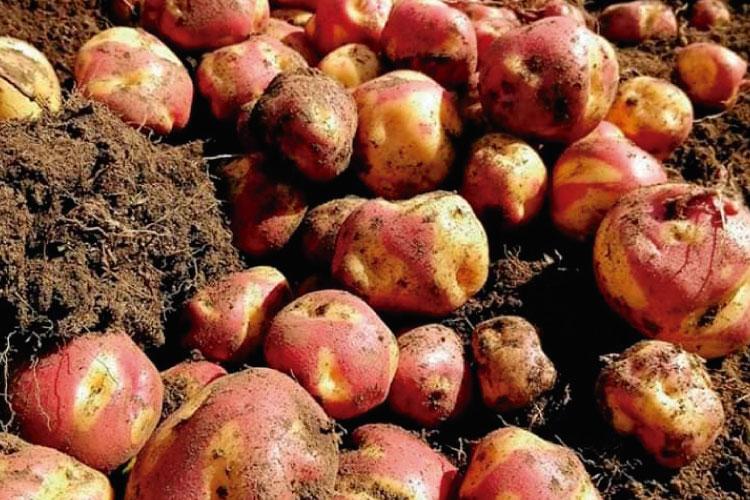 peruanita potatoe