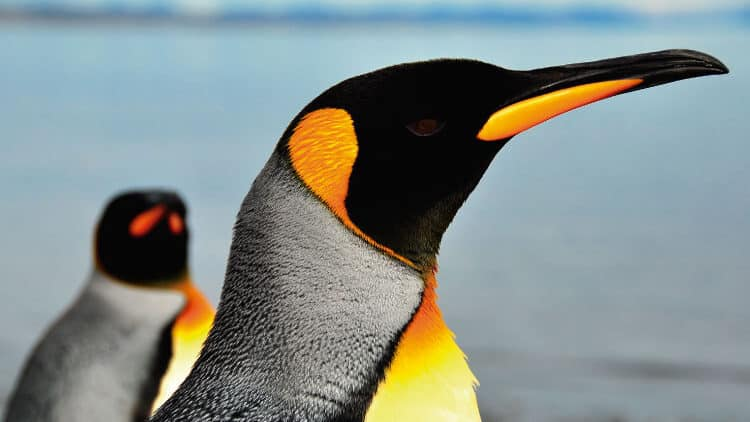 Happy Feet's Northern Cousins: Penguins of South America