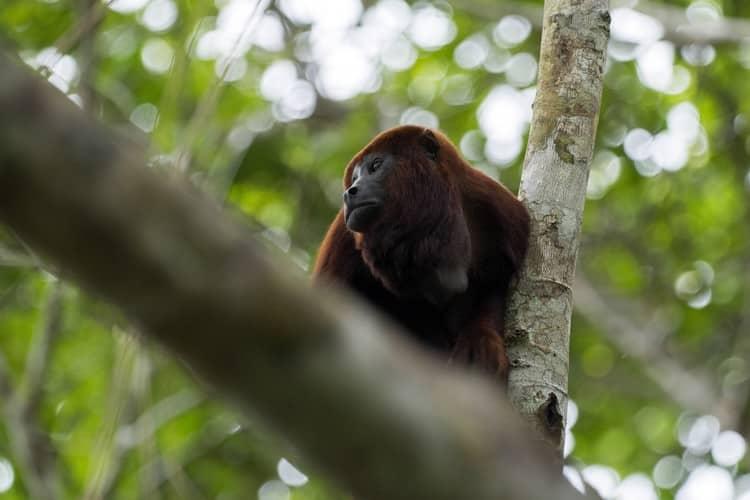 Howler Monkey Mashpi Ecuador