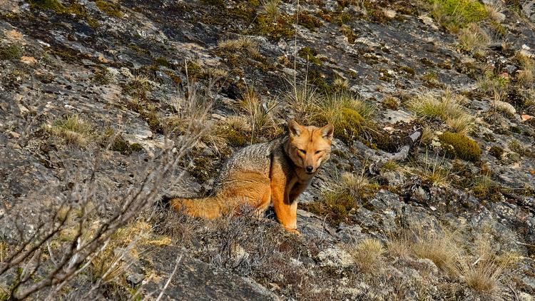 Fox pampas Argentinas